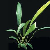 Anubias lanceolata (koszyk).