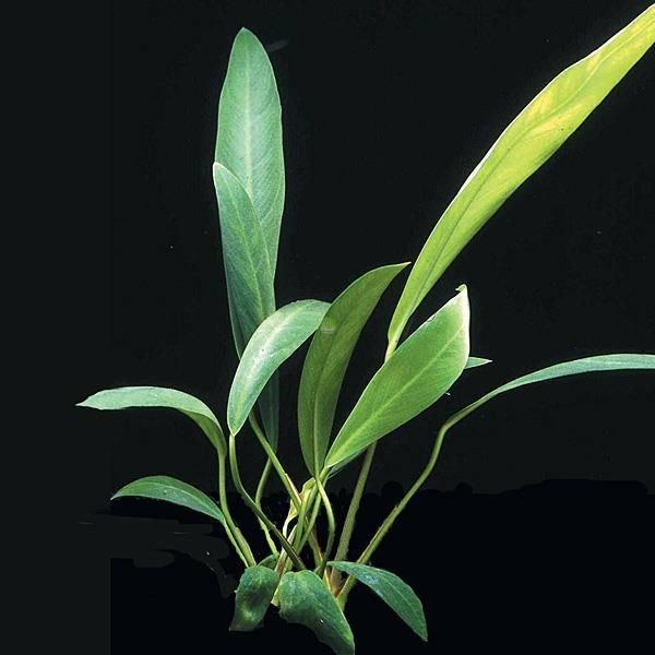 Anubias lanceolata - koszyk
