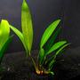 Anubias lanceolata - RA koszyk XXL