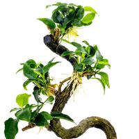 Anubias minima Bonsae (Anubias Bonsai) - RA (koszyk duży XXL) - RARYTAS