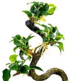 Anubias minima Bonsae (Anubias Bonsai) - RA koszyk standard