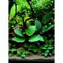 Anubias sp. - RATAJ (koszyk) - roślina mateczna XL