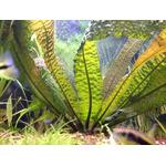 Aponogeton boivinianus - PLANTACJA (bulwa z liścmi)