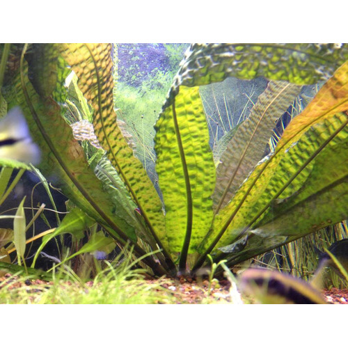 Aponogeton boivinianus - SONGROW (bulwa)