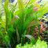 Aponogeton boivinianus - TROPICA (bulwa)
