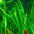 Aponogeton longiplumulosus (bulwa)