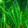 Aponogeton longiplumulosus - PLANTACJA (bulwa)