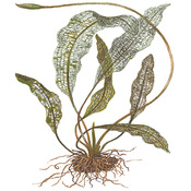 Aponogeton madagascariensis - TROPICA (bulwa)