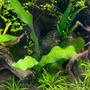 Aponogeton madagascariensis - TROPICA in-vitro 12GROW (limited edition)