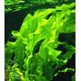 Aponogeton ulvaceus - TROPICA (bulwa/koszyk)