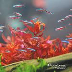 AquaForest RED Boost [200ml] - nawóz wybarwiający czerwień liści