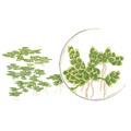 Azolla caroliniana - TROPICA (wanienka/porcja)