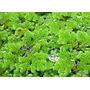 Azolla filiculoides  - puszka 5cm (roślina pływająca)