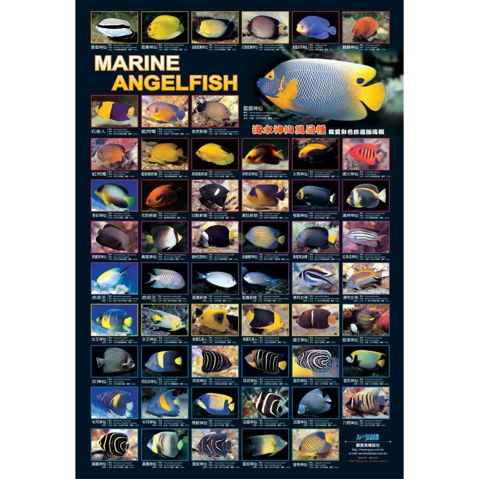 AZOO Marine Angelfish Poster - Plakat 3D + tuba ochronna