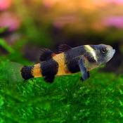 Babka osa (babka złota) - Brachygobius doriae