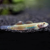 Babka tęczowa - Stiphodon ornatus rainbow (1 szt) - odbiór osobisty