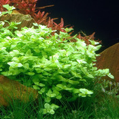 Bacopa australis (in-vitro) puszka 5cm