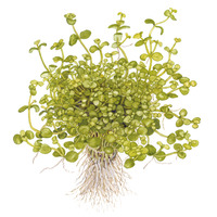 Bacopa australis TROPICA (koszyk)
