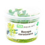 Bacopa caroliniana (in-vitro) puszka 10cm XXL