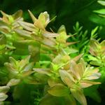 Bacopa caroliniana - in-vitro Aqua-Art