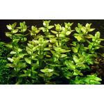 Bacopa caroliniana - TROPICA (MP)