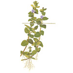 Bacopa caroliniana TROPICA (koszyk)