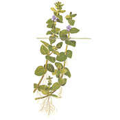Bacopa caroliniana - TROPICA (koszyk)