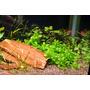 Bacopa caroliniana - TROPICA (opakowanie mini)
