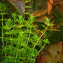 Bacopa myriophylloides (in-vitro) puszka 10cm XXL