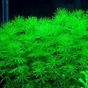 Bacopa myriophylloides - in-vitro Aqua-Art