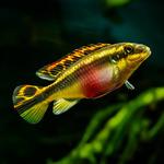 Barwniak czerwonobrzuchy - Pelvicachromis pulcher (1 szt) - odbiór osobisty