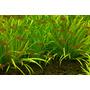 Blyxa japonica - RATAJ (koszyk)
