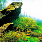 Blyxa japonica - sadzonka (uprawa podwodna/sumbersyjna)