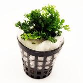 Bolbibits heteroclita baby leaf - RA koszyk standard - najmniejszy bolbitis