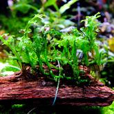 Bolbitis heteroclita baby leaf - RA koszyk duży XXL- najmniejszy bolbitis