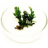 Bolbitis heteroclita baby leaf - sadzonka