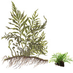 Bolbitis heudelotii na korzeniu - TROPICA