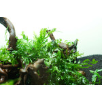 Bolbitis heudelotii - TROPICA (koszyk)