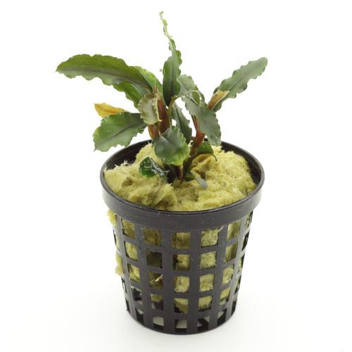 Bucephalandra Artemis - PLANTACJA (koszyk)