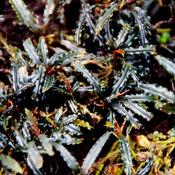 Bucephalandra Black V Meliau - RA (opakowanie) (PL-9)