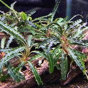 Bucephalandra Catherinae - RA (opakowanie) (PL-1)