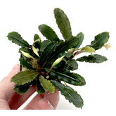 Bucephalandra Deep Purple - SONGROW (koszyk)