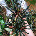 Bucephalandra Giant Velvet - PLANTACJA (koszyk)