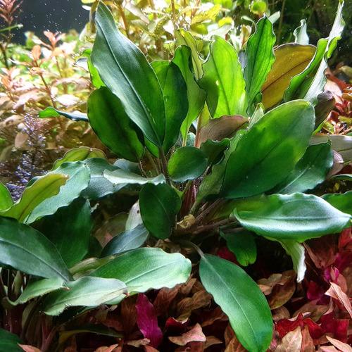 Bucephalandra green broad leaf  - PLANTACJA (koszyk)