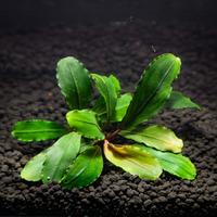 Bucephalandra Green Jade - PLANTACJA (koszyk)