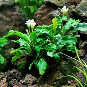 Bucephalandra green wavy - RA koszyk