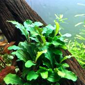 Bucephalandra green wavy - RATAJ (koszyk)