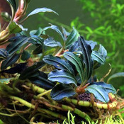 Bucephalandra kedagang round - PLANTACJA (koszyk)