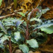 Bucephalandra Kedagang - TROPICA in-vitro 12GROW