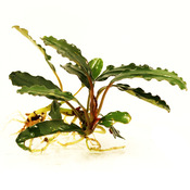 Bucephalandra Montleana Sekadau - RA (opakowanie) (PL-3)
